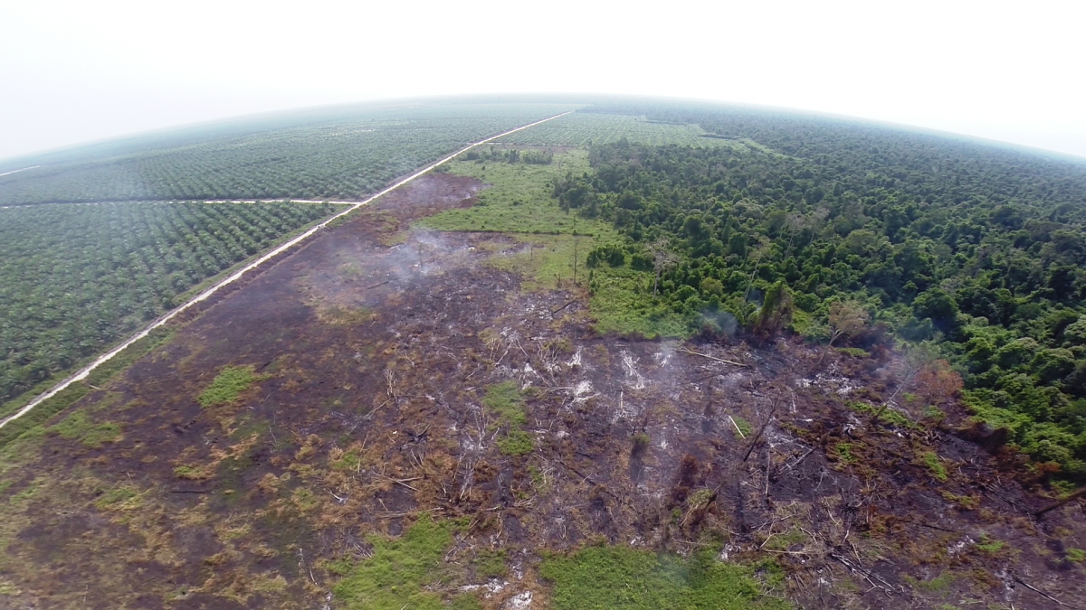 Drone image of illegal peat forest clearing, Kalimantan. (Photo courtesy of WALHI)